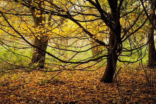 Autumn leaves in Thrupp