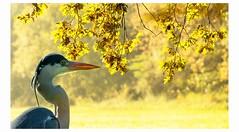 great blue heron (hardy-gjK) Tags: autumn automne herbst licht light heron reiher leaves gelb yellow jaune gris feuillage lumière dautomne nikon birds vögel animals tiere nature wildlife