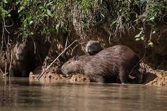 DSC_0855.jpg (riandar) Tags: brazil pantanal safari capybara wildlife mammals rodent nature