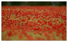 Flanders Fields (cheffievrs) Tags: 1dx 1111 600mmf4lis armisticeday borderfx canon crop flandersfields flower fullbloom fullframe landscape lestweforget nature poppies poppyfield wildfree