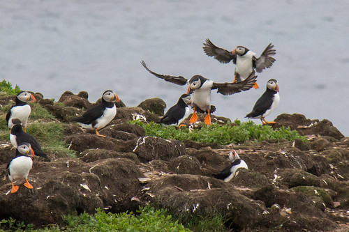 Puffins at Elliston 16