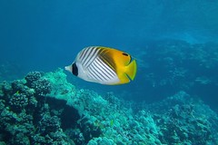 half n' half (BarryFackler) Tags: fish vertebrate cauriga threadfinbutterflyfish kikakapu butterflyfish chaetodonauriga water westhawaii ecology ecosystem reef tropical undersea underwater island life bigisland diving dive diver organism ocean outdoor polynesia 2016 pacificocean pacific kona konadiving hawaii hawaiiisland hawaiicounty honaunau honaunaubay hawaiidiving hawaiianislands fauna southkona scuba sea coralreef seacreature sealife sealifecamera sandwichislands saltwater aquatic animal zoology coral creature barryfackler barronfackler bay biology being bigislanddiving nature marine marinelife marinebiology marineecosystem marineecology