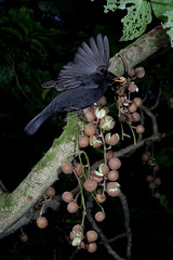 Blackbird (Terdus merula) and Kohekohe (Dysoxylum spectabile) (Nga Manu Images NZ) Tags: blackbird dispersal dysoxylumspectabile fscientificnames feeding fruiting hemiphaganovaeseelandiae kohekohe plantsandfungi trees turdusmerula