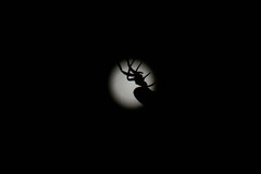 The Spider & The Moon (NVOXVII) Tags: spider moon silhouette backlit mysterious eerie spooky moonlight arachnid macro minimal contrast lightanddark night shape haunting november autumn nikon closeup nature