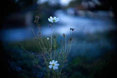 daisy (nocklebeast) Tags: woodrow yakumotvlens50mmf095 nrd daisy dream dreamy flower flowers oneiric yakumo santacruz ca usa daisyl3616179 scphoto