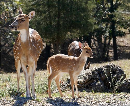 Axis deer fawn