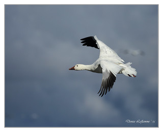 1E1A0407-DL   -   Oie des neiges / Snow Goose.