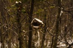 Nid (20161127) (larocqueclaudia) Tags: nikond5200 d5200 nid foret nature boreal cold snow