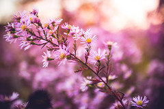 Floral Beauties (thethomsn) Tags: floral beauty beauties plants rose pink faded soft bokeh dof primelens blossom nature flowers branch focus germany breakable pastel 30mm thethomsn