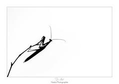 Ch'suis perch (Naska Photographie) Tags: naska photographie photo photographe paysage proxy proxyphoto macro macrophotographie macrophoto extrieur insectes mante religieuse mantidae noir et blanc black white monochrome ombre chinoise silhouette dessin