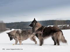 20160313091800 (koppomcolors) Tags: koppomcolors dog dogs hund hundar winter vinter