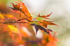 Maple (Eklis273) Tags: bltter laub leaves ahorn maple zwergahorn garten garden licht light outdoor orange green grn rot red braun brown dof samyang sonya6000