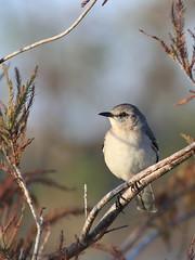 Northern Mockingbird 20161129 (Kenneth Cole Schneider) Tags: florida miramar westbrowardwca
