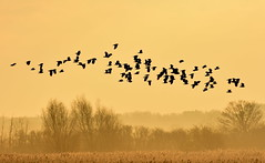 Lapwing sunrise. (pstone646) Tags: birds lapwings nature weather sunrise kent stodmarsh landscape animals fauna view orange wildlife mist
