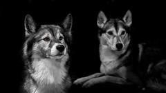 soul dogs - Seelenhunde (d@neumi) Tags: siberianhusky siberian husky nukka mouse hunde hund seelenhunde blackwhite colorkey colourkeying dog dogs souldogs tiefenschärfe bokeh dof einfarbig monochrome monochrom panasonic lumix g7