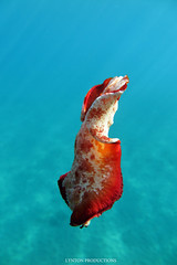 IMG_0207 copy (Aaron Lynton) Tags: spanish dancer snorkel scooter maui hawii hawaii canon g1x spanishdancer turtle honu tako octopus ocean animals papio yellowspotpapio starfish