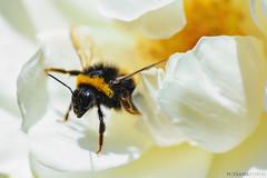 abejorro (Mauro Esains) Tags: abejas desenfoque trabajo polen flor margarita tamron nikon macro movimiento aire libre jardn primer plano vuelo ptalos