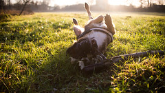 Dogs live (timo_holinka) Tags: altdeutscherhtehund hund dog goldenhour goldenestunde goodlive nikon nikond610 d610 vollformat sonnenuntergang gegenlicht beautifulday fullframe