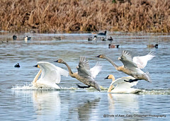 Late Arrivals (Gary Grossman) Tags: tundraswan whistlingswan swan garygrossmanphotography garygrossman shotsofawe wildlife wildlifephotography ridgefield nationalwildliferefuge nature natural lake landing landscape pacificnorthwest washington autumn fall water mature immature