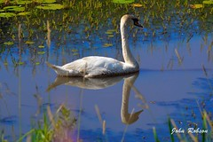 Mute Swan_97_5587-D32 (john_robson) Tags: muteswan pittlakebc bccanada