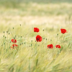 Chers à mon coeur ***-- -°--° (Titole) Tags: red barley squareformat poppy poppies coquelicot challengegamewinner friendlychallenges thechallengefactory herowinner storybookwinner titole nicolefaton