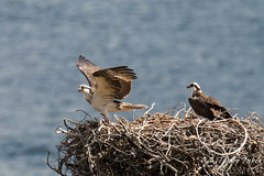 Juvenile Osprey tests its wings