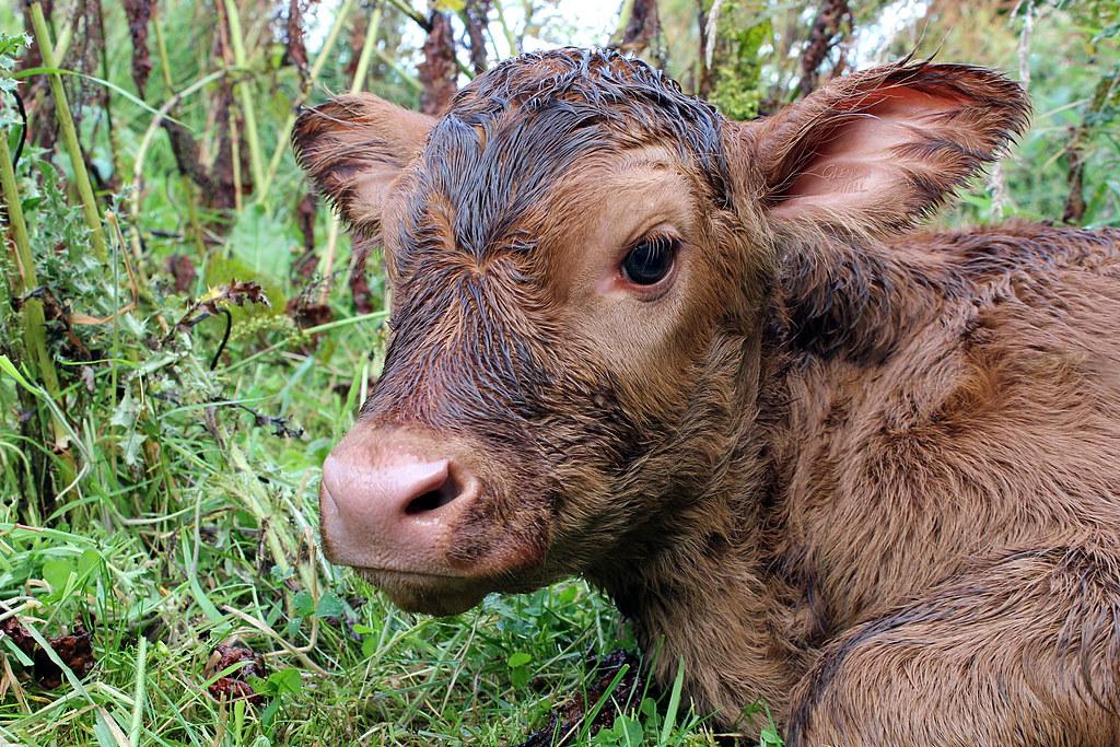 Daisy Cow Eyelashes