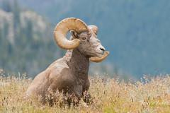 August 8, 2015 - A BIghorn Sheep ram enjoys a mild morning on Trail Ridge Road. (Tony's Takes)