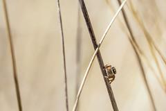 Carrhotus xanthogramma (Sehne.G - Photographie) Tags: spider jumpingspider araigne saltique