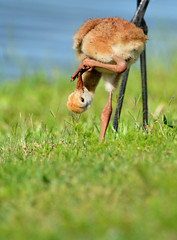 SANDHILL CRANE CHEEK (concep1941) Tags: birds outdoor wildlife pastures openwoods cranefamily freshwatermarshes