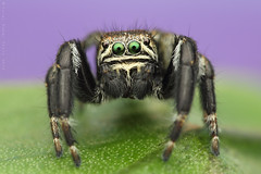 Evarcha arcuata (shimie) Tags: color green eye nature grass animal les forest canon hair insect eos spider moss jumping eyes outdoor arachnid extreme 100mm jed l jumper slovakia spinne usm poison predator mach oci salticus arachnos chlp skakavka chelicery