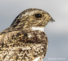 Common Nighthawk (Brandon Downing) Tags: light nature up birds closeup canon outdoors close wildlife lightr aninmals