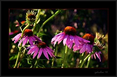 The Purple Gang (the Gallopping Geezer '5.0' million + views....) Tags: life flower leaves mi rural canon leaf petals michigan country bloom roadside tamron smalltown geezer corel 6d 28300 2015 columbiaville
