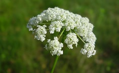 White Umbrella (Dave Roberts3) Tags: white wales newport gwent cowparsley blueribbonwinner bej citrit