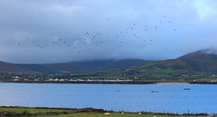 Ballydavid, Dingle Peninsula: birds across morning clouds (green voyage (far, far behind, trying to catch up)) Tags: morning autumn ireland houses sea mountains birds clouds boats october sheep villages kerry hills beaches fields walls oceans bays stonewalls atlanticocean harbors drystonewalls munster coasts harbours dinglepeninsula countykerry flocks smerwickharbour peninsulas ballydavid contaechiarra thedingle bailenangall corcadhuibhne winestrand townlands ballinrannig baileanreannaigh tranfhona cuanardnacaithne corkaguiny