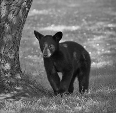 Spring cub carefully studying the other bears.... (Direwolf131) Tags: