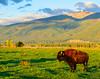 Tatonka (HarryMiller002) Tags: mountains buffalo montana valley bison tatonka bitterroot