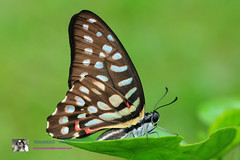 Graphium arycles arycles (Boisduval, 1836) : Spotted Jay (ผีเสื้อหนอนจ าปีจุดแดงต่อ)