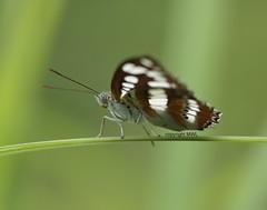 Koh Samui butterfly (Phil Arachno) Tags: thailand lepidoptera kohsamui kosamui arthropoda tha insecta hexapoda