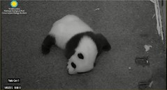 Bei-Slowly I turned...step by step...inch by inch 21 (partipersian) Tags: pandas bei pandacub beibei smithsoniannationalzoo