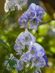 Aconitum Ivorine monkshood autumn flowers Toronto Botanical Garden by garden muses-not another Toronto gardening blog (Paul Jung Gardening Services) Tags: fallflowers monkshood aconitum torontobotanicalgarden