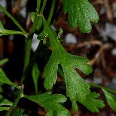 Tanacetum parthenium (L.) Sch.Bip., Mutterkraut (Gartenform, verwildert) , NGID1434268216 (naturgucker.de) Tags: tanacetumparthenium naturguckerde crolftheodorborlinghaus spf105 ngid1434268216