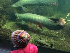(fzurell) Tags: zoo aquarium fisch arapaima
