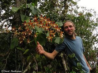 Un sueño cumplido entre muchos otros: ver a Odontoglossum luteopurpureum floreciendo in situ (Distribución: endémico de Colombia desde 2000 hasta 3000 m snm), Putumayo, Colombia