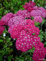 Achillea millefolium 'Rose Madder'