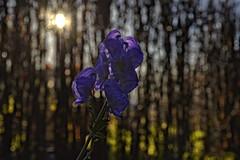 The last one standing - backlit (Ingunn Eriksen) Tags: sun flower aconite oktoberstormhatt oktoberhjem