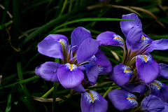 Tivoli - Villa d'Este - Iris - (CristinaProietti) Tags: iris italy flower macro nature colors tivoli focus violet villa fiori colori deste