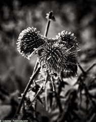 Frozen Thistle (mjardeen) Tags: blackandwhite bw white plant black flower macro ice ir frozen washington crystals decay g thistle sony wa converted fe 90mm infra f28 oss a7ii 720nm tonality niksilverefex a7m2