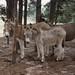 Donkeys at Black Beauty Ranch