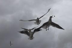 Rieuses  table (rocailles) Tags: mouetterieuse matriel rieuse beach plage mouette gull bird oiseau